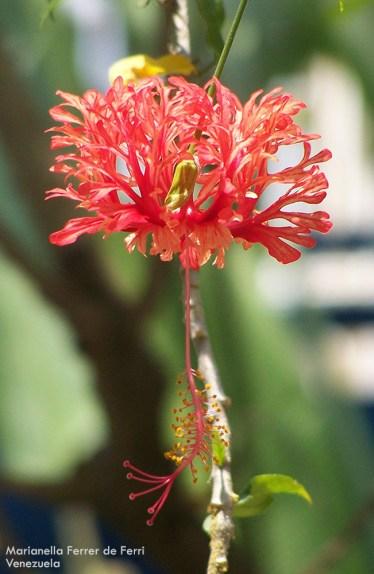 Foto® Marianella Ferrer de Ferri (Venezuela): Cayena péndula (Hibiscus schizopetalus), familia de las Malvaceae.
