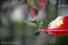 ♀=♂ Amazilia Bronceada Coliazul, [Copper Rumped Hummingbird (Amazilia tobaci)] y la cola de un macho ♂ Mango Pechinegro [Black Throated Mango (Anthracothorax nigricollis)]