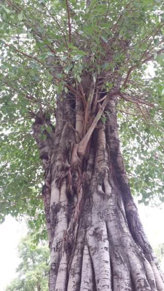 Pimpal tree near the temple