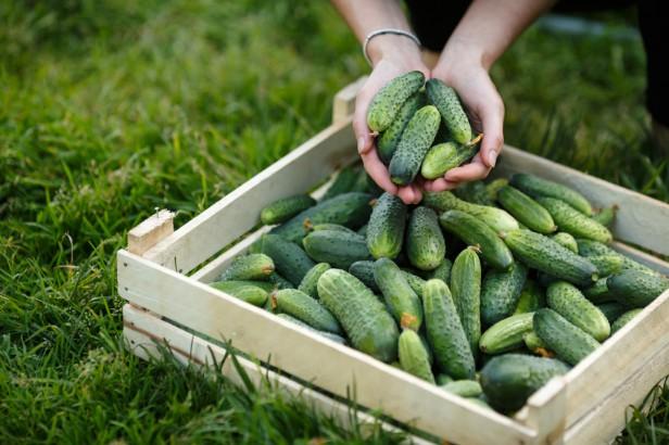 Chicago Apartments, Organic Produce, Organic Cucumbers
