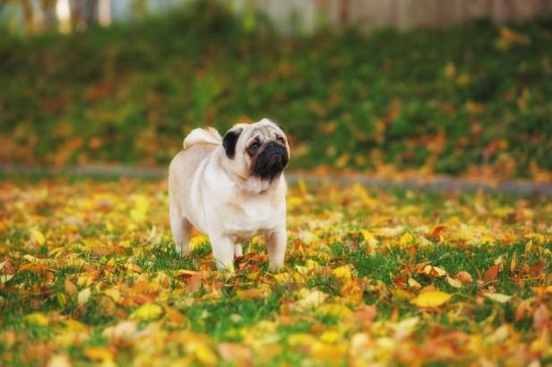 Chicago Apartments, Apartment Dog Breeds, Pugs