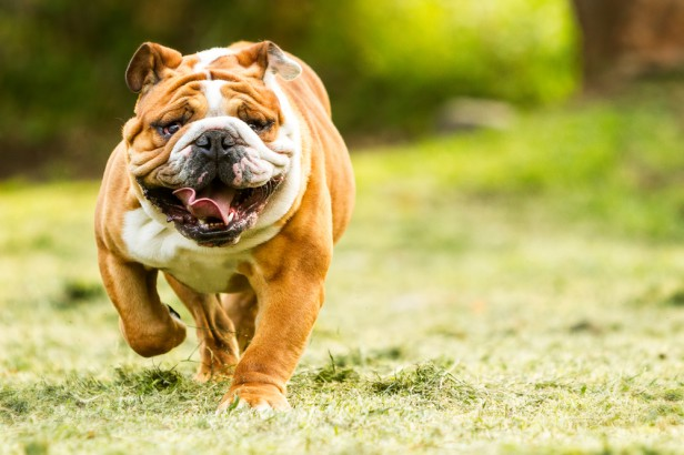 Chicago Apartments, Apartment Dogs, Bulldogs