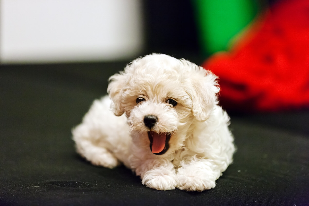 Small Cute Dog Breeds