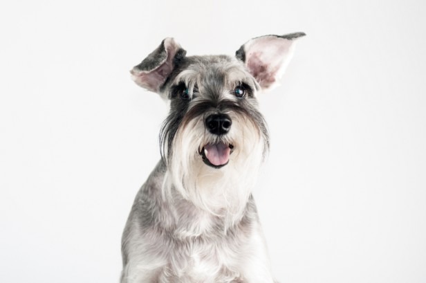 Chicago Apartments, Hypoallergenic Dogs, Schnauzers