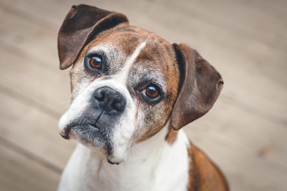Chicago Apartments, Adopt Senior Dog