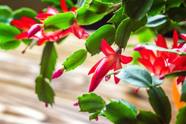 Chicago Apartments, Holiday Houseplants, Christmas Cactus