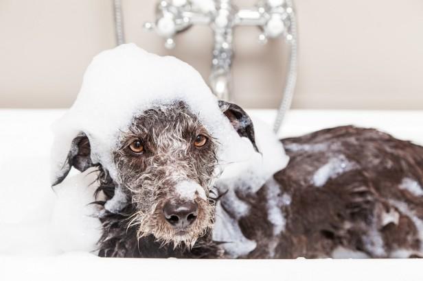 Chicago Apartments, DIY Dog Shampoo