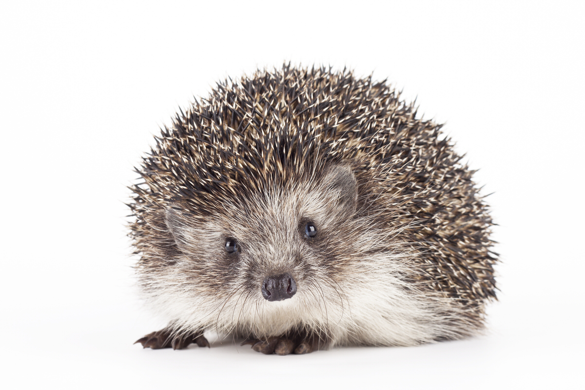 Chicago Apartments, Pets for Apartments, Pet Hedgehogs