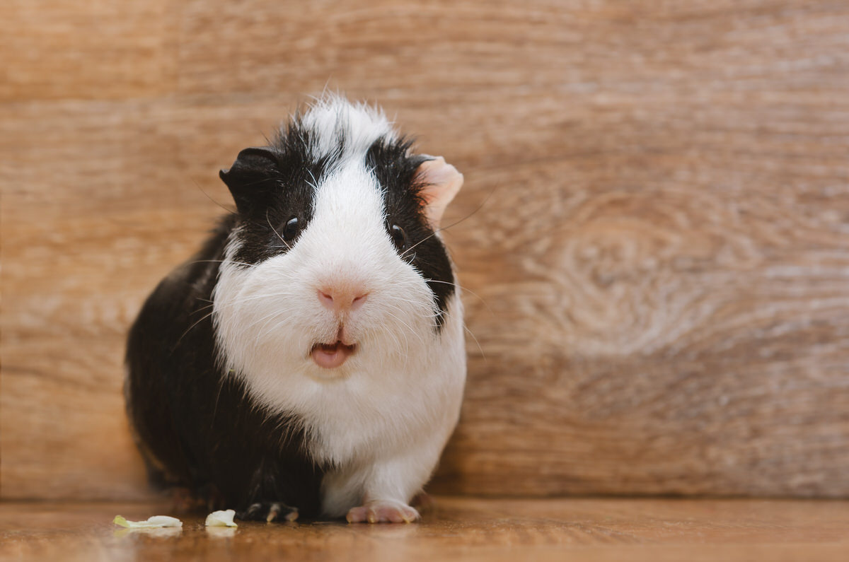 Chicago Apartments, Pets for Apartments, Pet Guinea Pigs