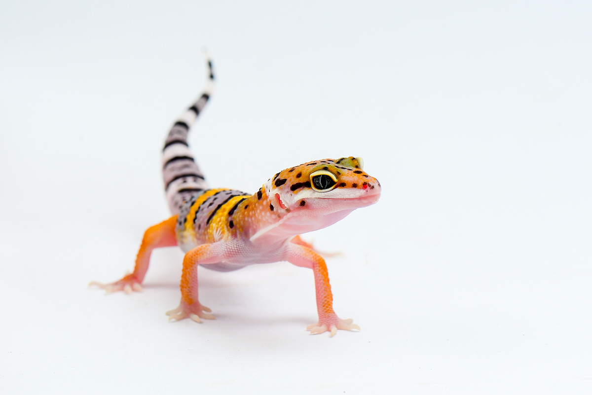 Chicago Apartments, Pets for Apartments, Pet Geckos