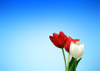 Aesthetics red white tulips spring Free PPT Backgrounds for your PowerPoint Templates