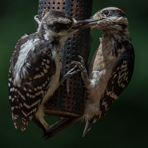 woodpeckers-donation