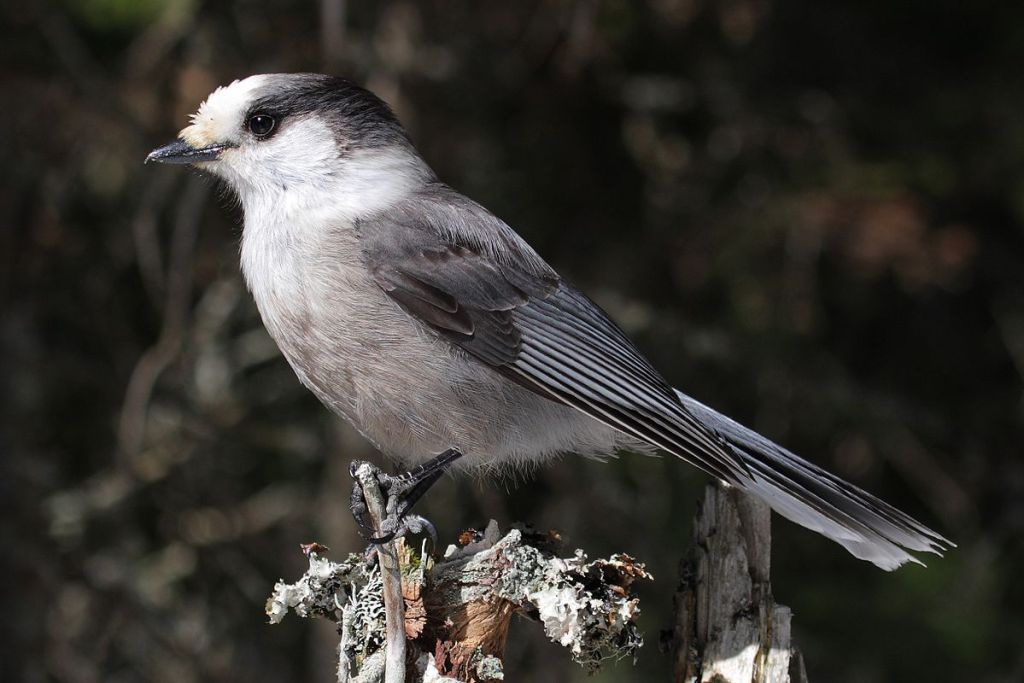 The Gray jay can survives in the hostile climate by scatter-hoarding food items fastened in trees under bark scales and lichens (Image:wikipedia)