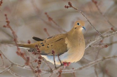 Mourning Dove near the Conservation Centre
