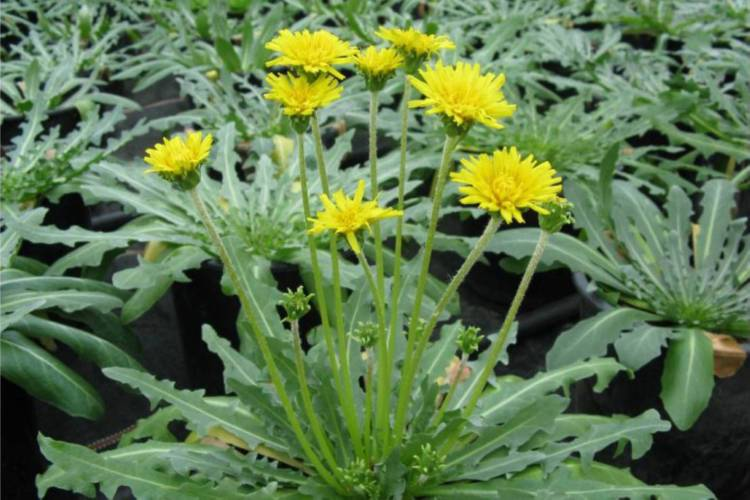Japanese tyre maker, Sumitomo Rubber Industries, has begun exploring how it might produce rubber for car tyres from Russian dandelions.