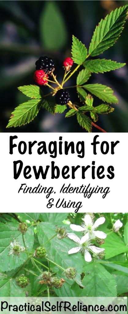 Foraging For Dewberries (Northern Dewberry - Rubus flagellaris) #dewberries #foraging #wildfood #forage #selfsufficiency #wildcrafting #wildedibles