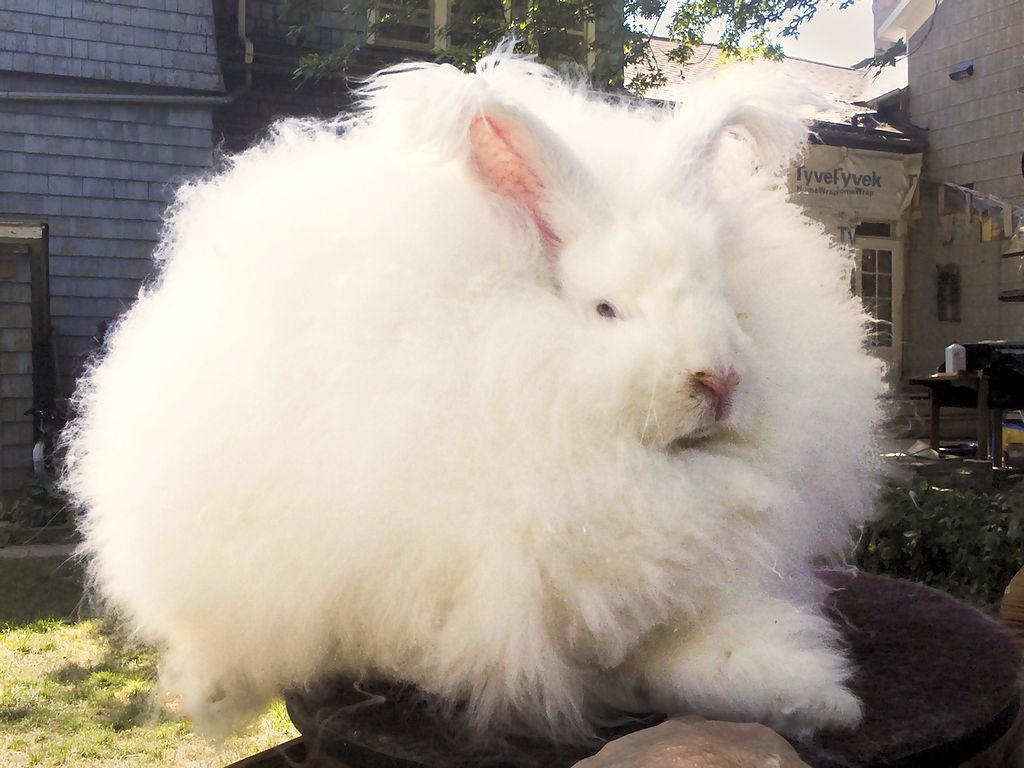 Selling Angora Fiber from Backyard Rabbits