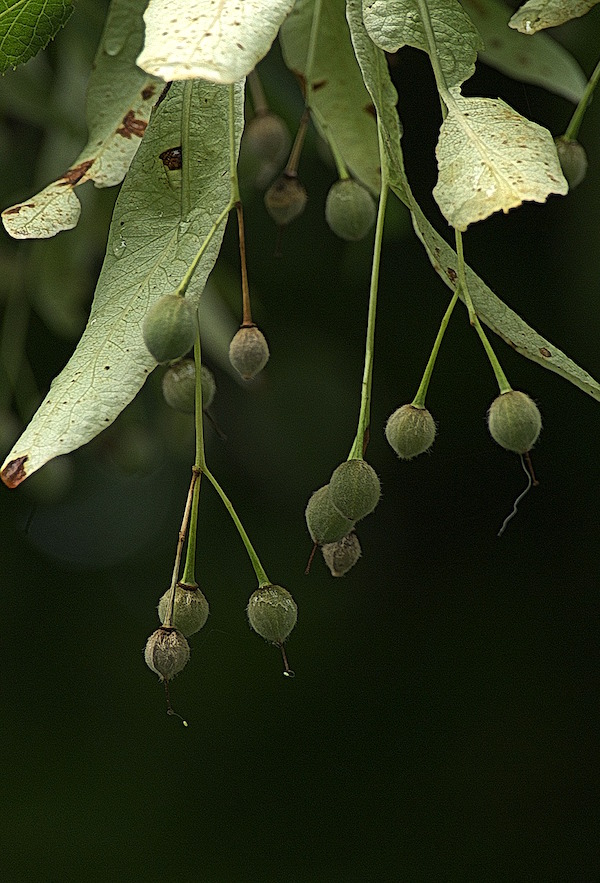 Linden tree seed cluster hanging on the tree.