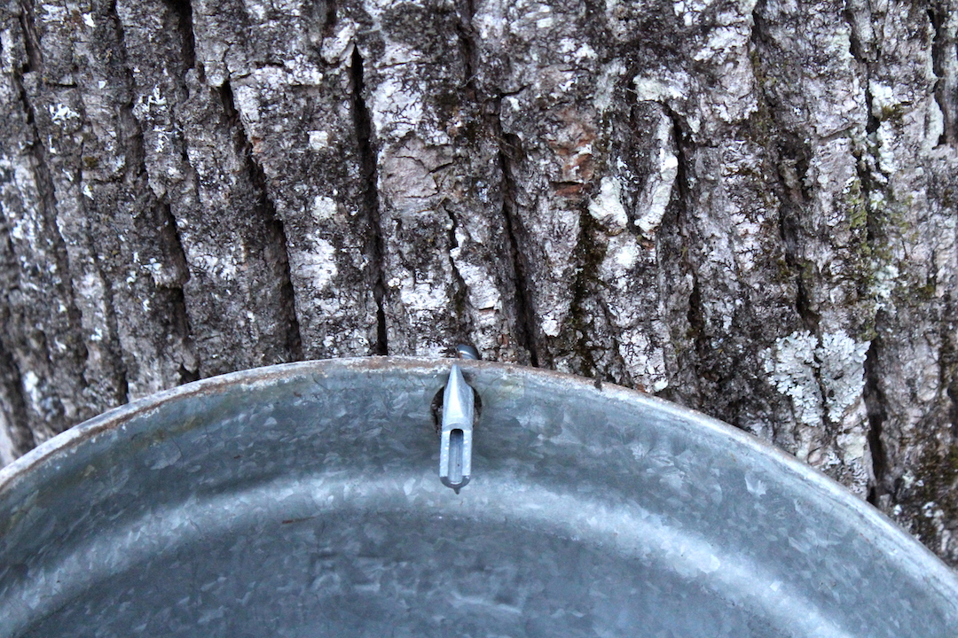 Tapping Linden Trees for Syrup