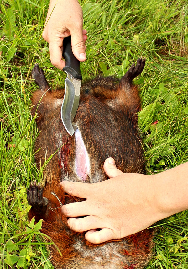 How to Butcher a Groundhog (Woodchuck)