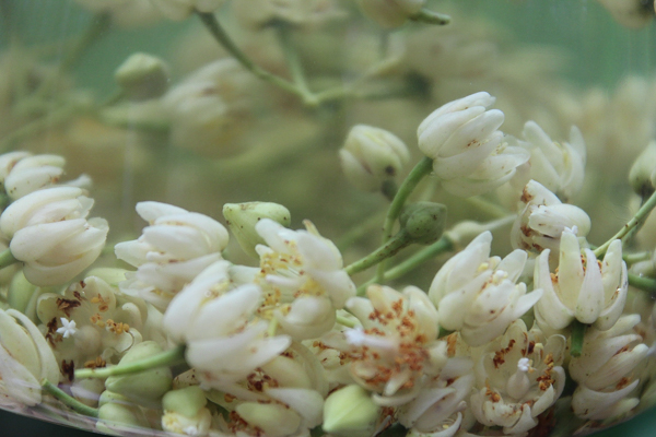 Linden Flowers for Tea