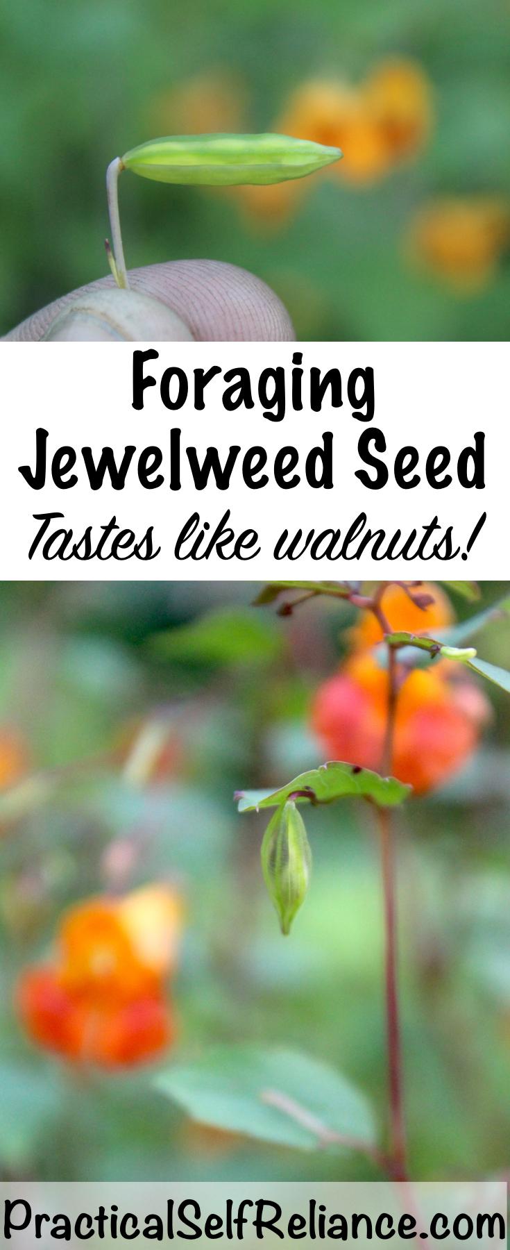 Foraging Jewelweed Seed ~ Tastes Like Walnuts! #foraging #forage #wildcrafting #wildedibles #jewelweed #uses