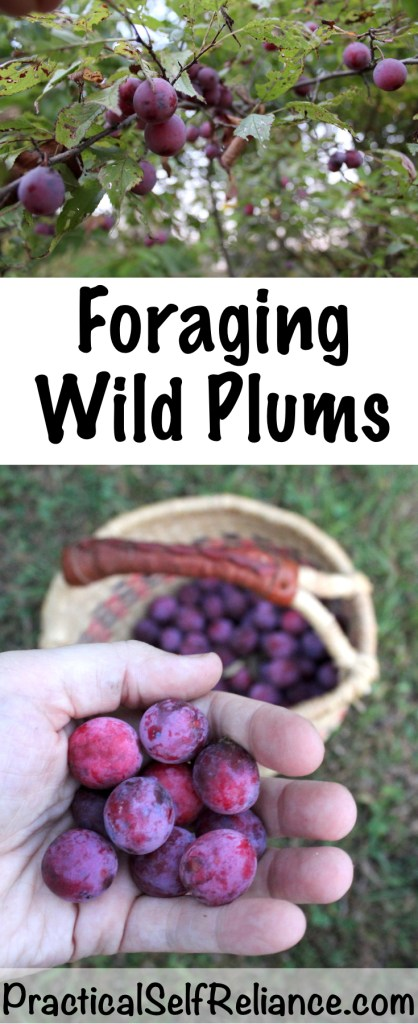 Foraging Wild Plums #plums #wildplums #foraging #wildfood #forage #selfsufficiency #wildcrafting #wildedibles