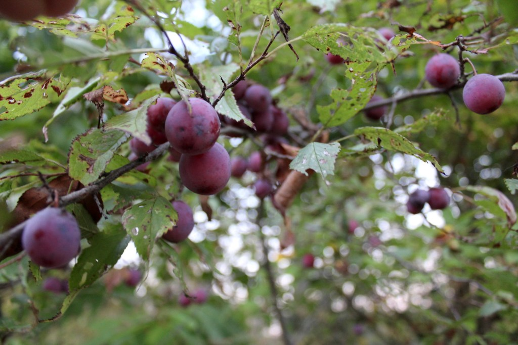 Wild Plums in Central Vermont in Late September