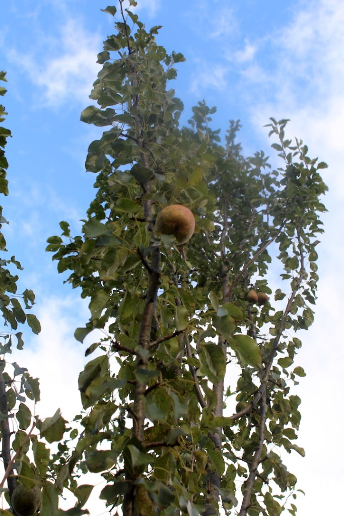 How to Pick a Pear off a Full sized tree
