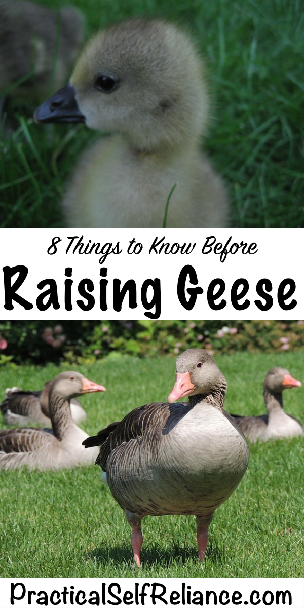 8 Things to Know Before Raising Geese #geese #goose #poultry #livestock #homesteading