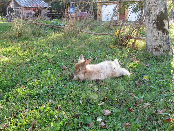Free Range Angora Rabbit Lounging