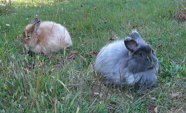 Reasons to Raise Angora Rabbits
