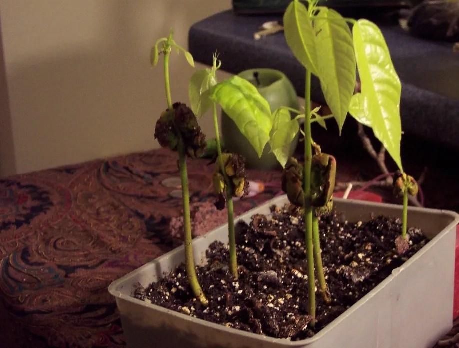 Vermont Grown Cacoa Seedlings
