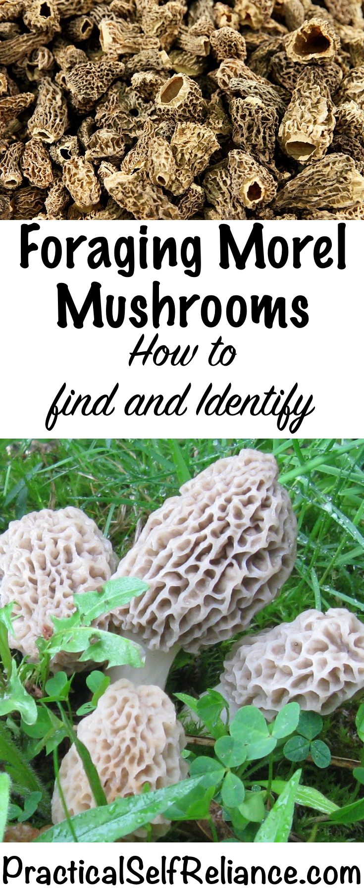 Foraging Morel Mushrooms - How to Find and Identify Morels #morels #morelmushrooms #mushrooms #foraging #wildfood #forage #selfsufficiency #wildcrafting #foragemushrooms #ediblemushrooms