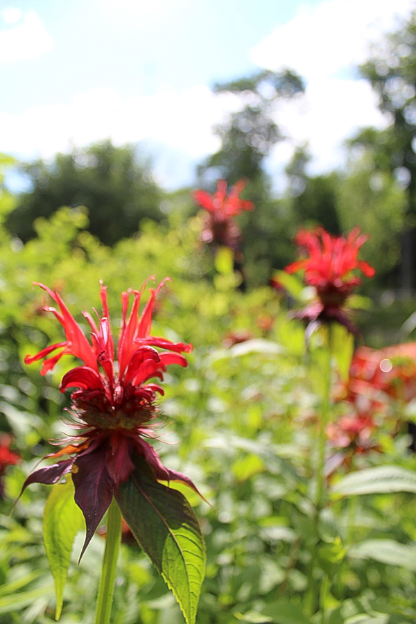 Cultivated bee balm with it's striking red color.