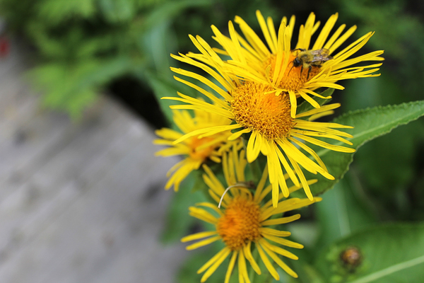 Elecampane with a visiting bee.