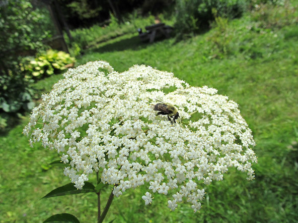 A native bee visiting an elderberry in bloom.