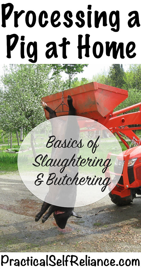 Processing a Pig at Home: Basics of Slaughtering and Butchering #raisingpigs #pigs #livestock #homestead #homesteading #selfsufficiency #selfreliant #preparedness #pigs #butchering