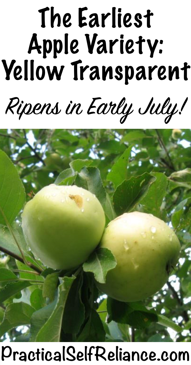 The Earliest Apple Variety: Yellow Transparent - Ripens in Early Summer!
