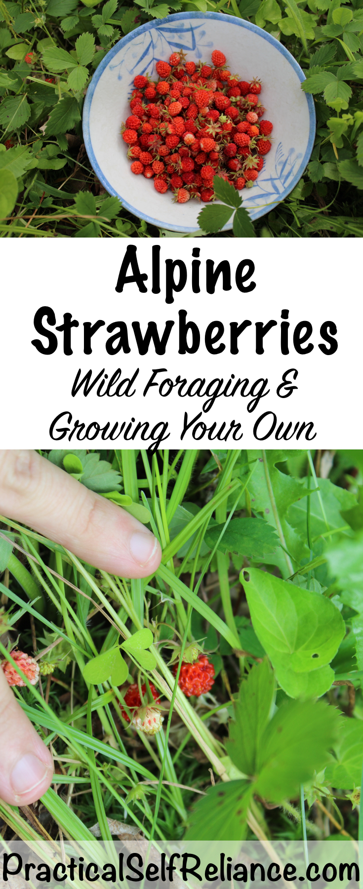 Alpine Strawberries: Wild Foraging and Growing Your Own