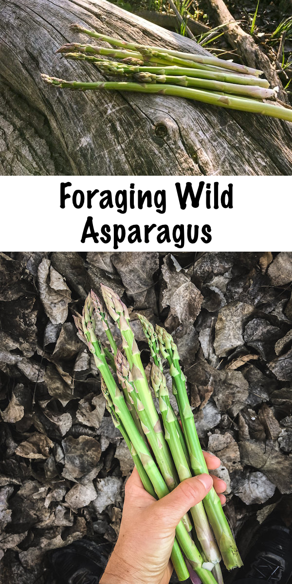 Foraging Wild Asparagus ~ Early spring is the time to stalk, search and forage for wild asparagus. Identifying wild asparagus is easier than you think, and the problem is, finding it in the right season.  Asparagus isn't foraged you see, it's stalked...long before it's ready the hunt begins. #wild #asparagus #forage #howtofind