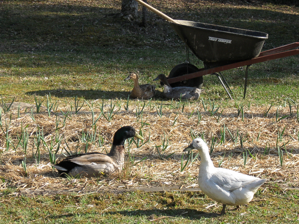 ducks in a suburban farm