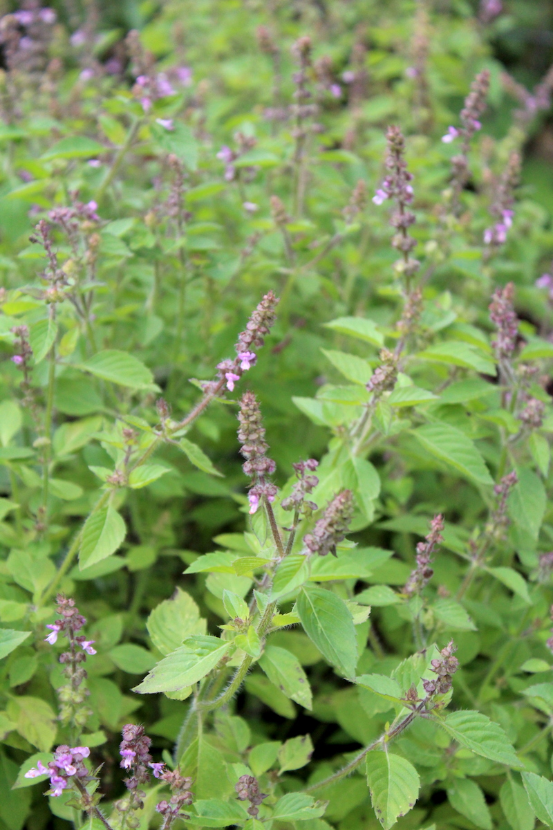 Tulsi growing outdoors in autumn