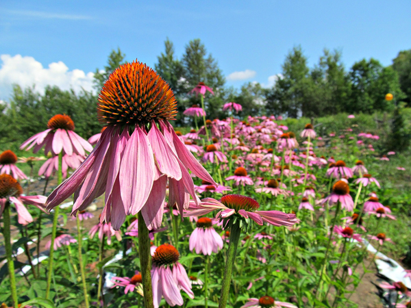 Growing Echinacea for market