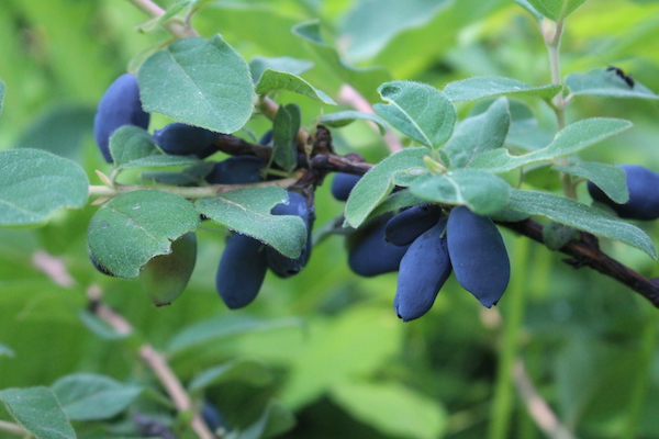 honeyberry fruit that have just ripened on the plant