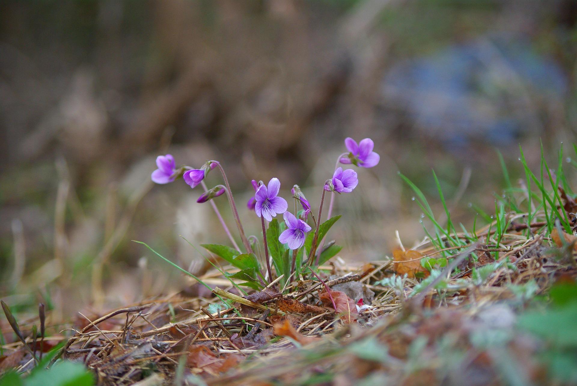 Edible Violet Flowers