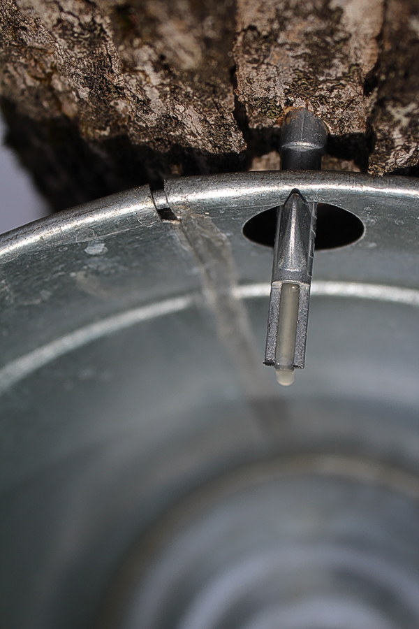 making maple syrup using tree saver taps