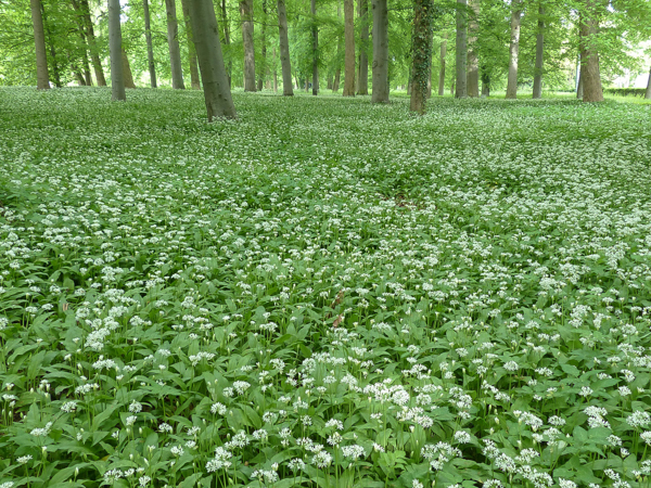 Bear garlic flowers