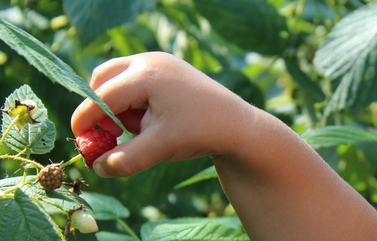 Backyard Raspberry Pick Your Own