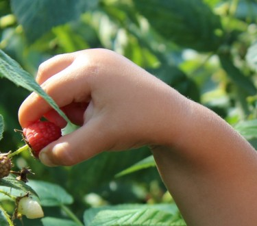 Starting a Backyard Raspberry Pick Your Own